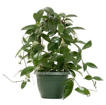 wax plant, hoya flower, hoya plant, hoya carnosa
