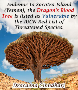 Fact about dragon's blood tree