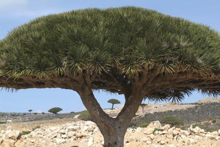 Shade Provided by Dragon's Blood Tree