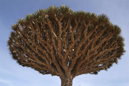 Mushroom-shaped dracaena Cinnabari