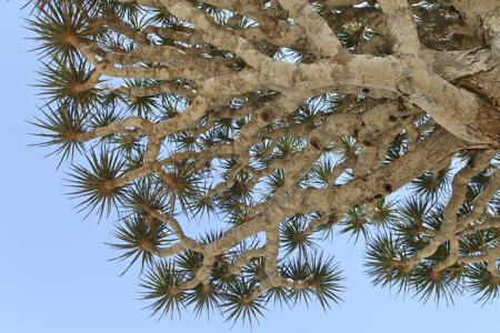 Leaves of Dragon's Blood Trees