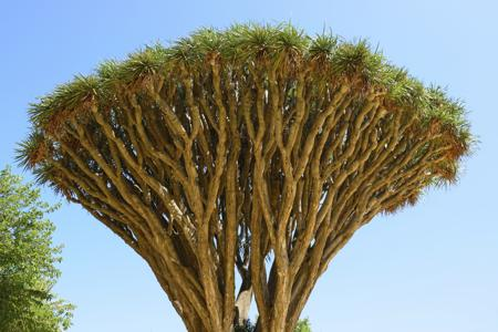 Branches of Dragon's blood Tree