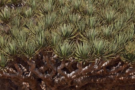 Close-up of Dragon's Blood Trees