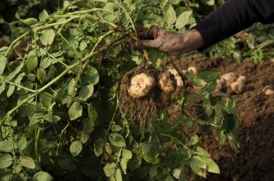 Fresh Potatoes from field