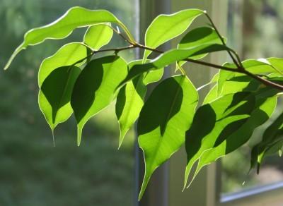 ficus-leaves