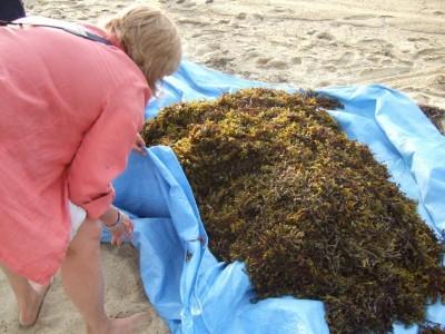 harvesting-seaweed