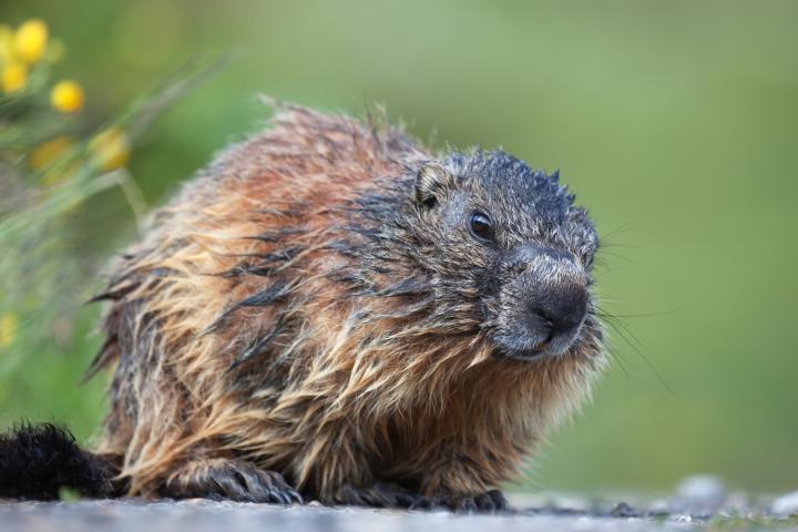 woodchuck-groundhog-pest