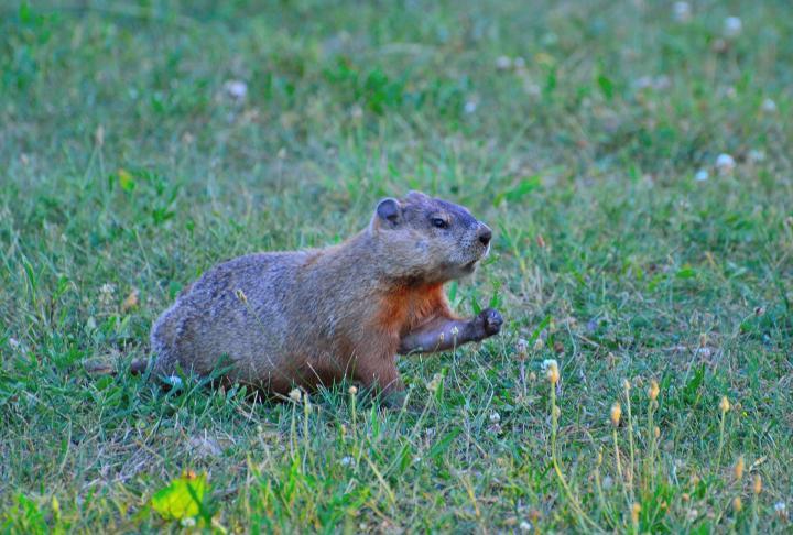 do-groundhogs-hibernate.jpg