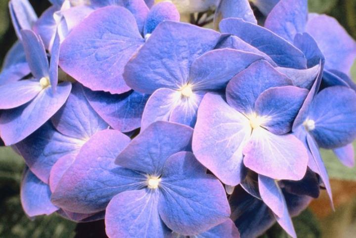 Blue Hydrangea Petals