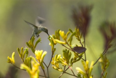 Kangaroo Paw with Hummingbird