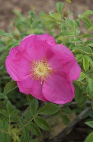 Raspberry Rugostar