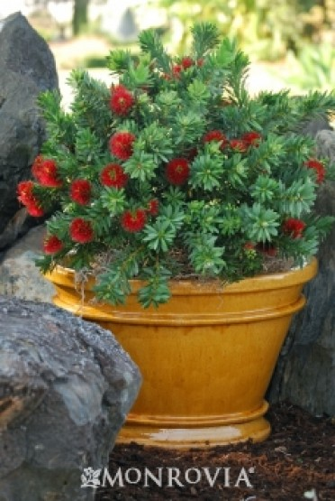 Dwarf Bottlebrush
