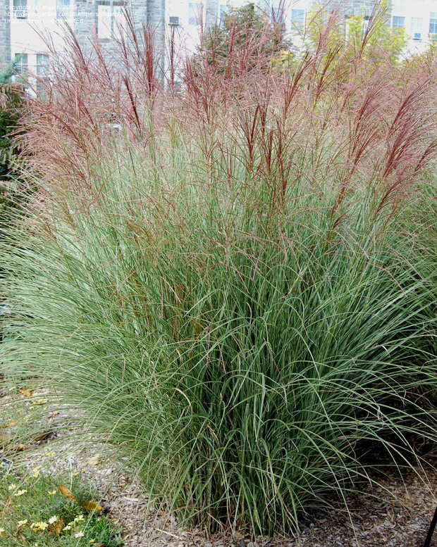 ornamental grasses miscanthus